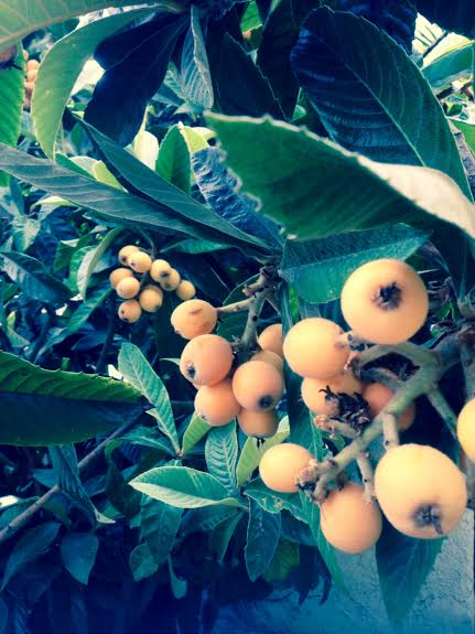 loquats tree fruit