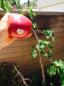 organic fuji apple fig tree